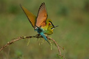 Blue Tailed Bee Eater Mating