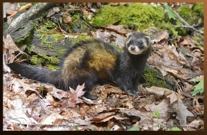 Who's seen a Polecat?