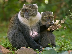 Syke's Monkeys