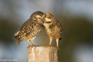 Burrowing Owl (Athene cunicularia