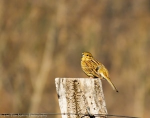 Yellowhammer Bathing in the Sun