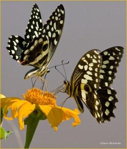 Citrus Swallowtails