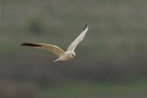 Male Pallid Harrier Under the Rain
