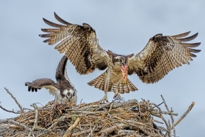 Osprey with Food