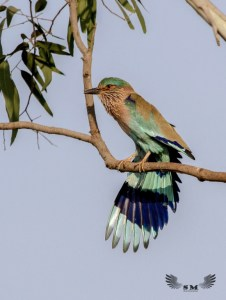 Indian Roller Stretching