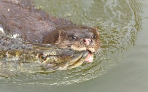 Wild Otter with large Pike