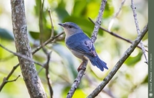 Bicoloured Conebill, Conirostrum bicolor