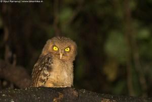 Mountain Scops Owl