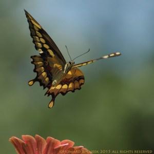 Swallowtail Rising