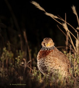 Face to Face with a Plains Wanderer
