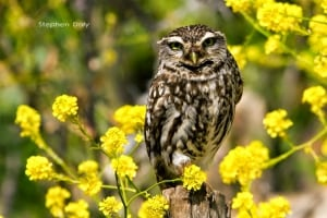Little Owl on Mustard Flowers