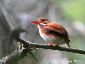 Madagascar Pygmy-kingfisher