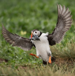 Puffin Landing on Staple Island