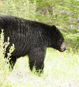Walking with a Black Bear