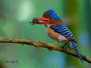 Banded Kingfisher - male with Prey