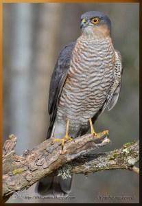 Male Sparrowhawk... VERY focused