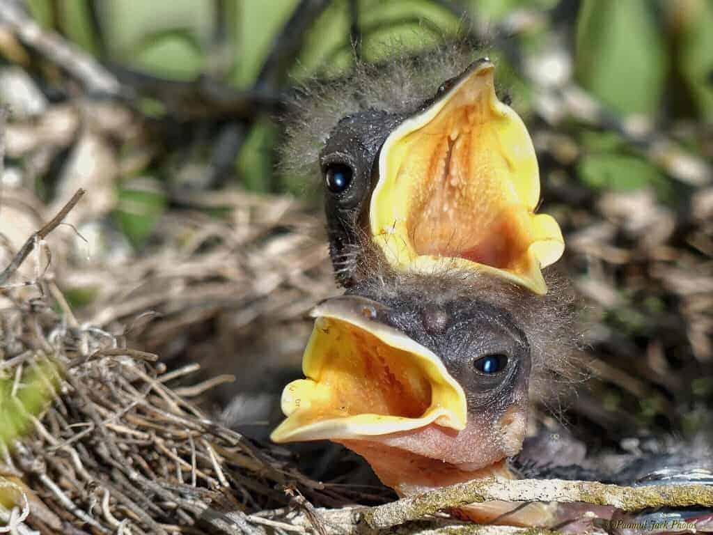 Mommy!!! – (Mockingbird Hatchlings)