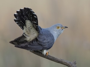 Displaying Cuckoo