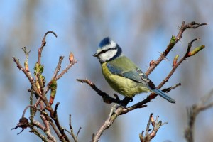 Blue Tit on Briars