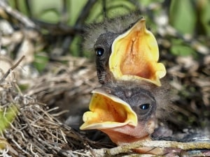 Mommy!!! - (Mockingbird Hatchlings)