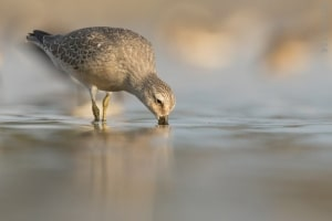 Red Knot Feeding