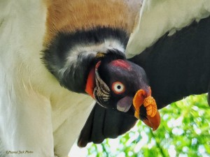 King Vulture - Discovering a Meal