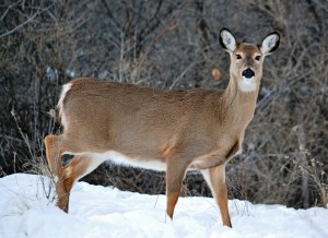 White Tailed Deer on Snow