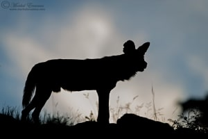 Painted Dog Silhouette