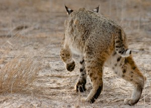 Bobcat in Stealth Mode