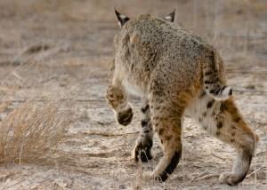 Bobcat in Stealth Mode