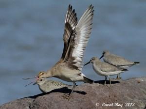 Eh you ! Get off my rock !  Hudsonian Godwit