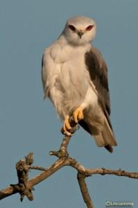 Black-winged KiteCuaresma
