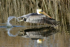 Brown Pelican Liftoff