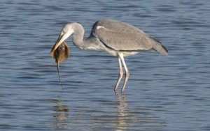 The Heron & the Stingray