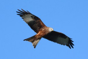 Red Kite, Milvus milvus