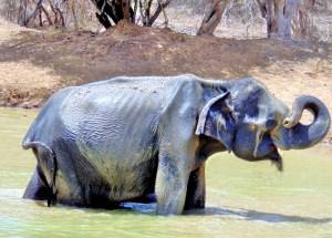 Wild Elephant at Mud Hole