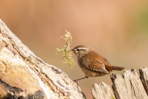 Winter Wren with Nesting Material