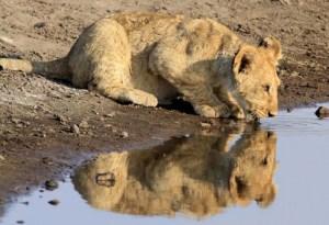 Four month-old Lion Cub