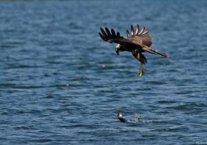 Marsh Harrier Hovering over Moorhen