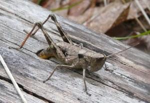 Sprinkled Grasshopper laying eggs