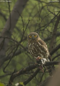 Brown Hawk Owl | Ninox Sculata