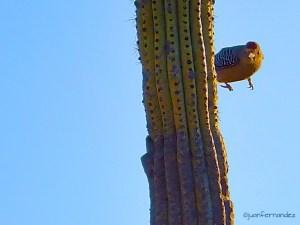 Carpintero Del Desierto - Gila Woodpecker