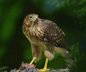 Proud with Prey