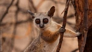 Somali Lesser Galago (Galago Gallarum)