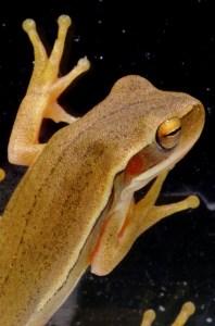 Rana Hyla - Hyla Frog
