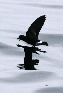 White-vented storm petrel