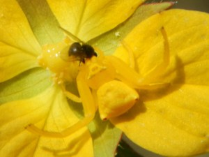 crab it.yellow crab spider eating a fly