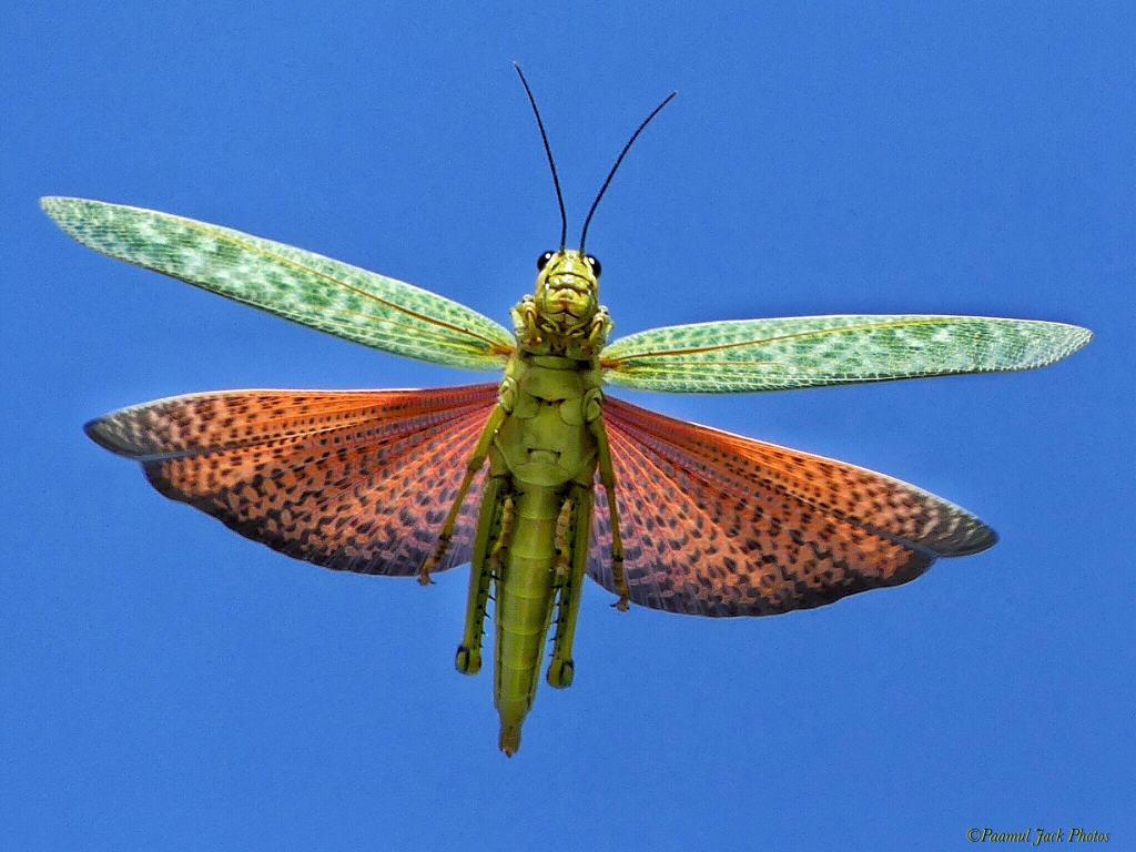 Yucatan Locust – in Flight