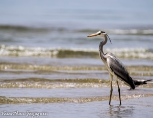 Eye of the Future - Grey Heron