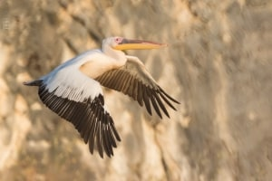 Great White Pelican Take Off